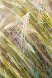 Barley (Hordeum vulgare) Royalty Free Stock Image