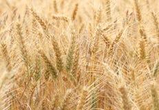 Barley Hordeum vulgare field. A Barley crop Hordeum vulgare field Stock Images