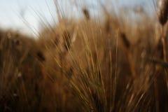 Barley (Hordeum vulgare) Stock Image