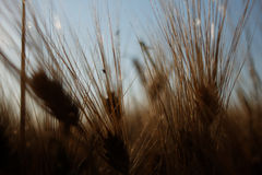 Barley (Hordeum vulgare) Royalty Free Stock Photos