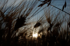 Barley (Hordeum vulgare) Stock Images
