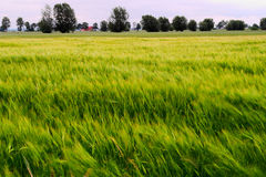 Barley Hordeum vulgare growing on field with ears of grain blurred by wind and long exposure. Rural countryside landscape. Royalty Free Stock Image
