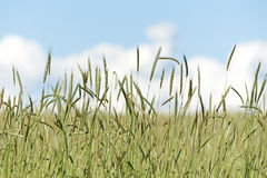 Barley (Hordeum vulgare L.) Royalty Free Stock Photography