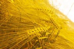 Barley golden background diagonal composition. Barley Hordeum vulgare, a member of the grass family stock photo
