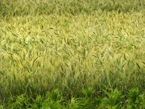 Barley field important for craft beer industry stock image