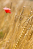 Barley (Hordeum vulgare) Stock Photo