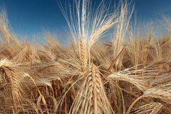 Barley (Hordeum Vulgare) Royalty Free Stock Photo