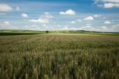 Barley landscape Royalty Free Stock Photography