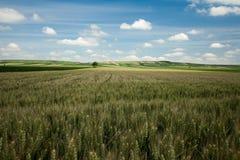 Barley landscape. Field of barley plant on a hillside Royalty Free Stock Photography