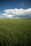 Barley landscape with rainly clouds Royalty Free Stock Photography