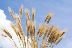 Barley like a fan Royalty Free Stock Images