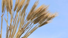 Barley like a half fan Royalty Free Stock Photography