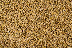 Barley malt. Photo of grains of barley malt Stock Images
