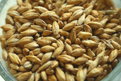 Barley malt. Closeup of a glass filled with malted barley grain Stock Images