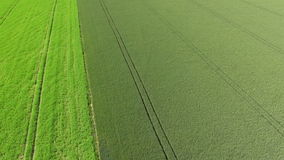 Barley maturing in the summer sun on the island of Gotland stock video