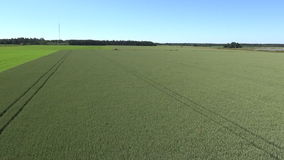 Barley maturing in the summer sun on the island of Gotland stock video footage