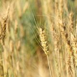 Barley in medow, close up. Royalty Free Stock Photography