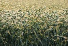 Barley in morning sun Stock Photos