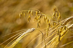 Barley and oat Stock Photos