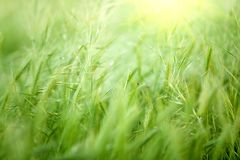 Barley and oat grass Stock Photo