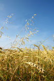 Barley and oat vertical. Vertical of a field of golden ripe barley with some oat growing amongst it, shot against bright blue sky with few diffused white clouds Stock Photos