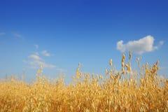 Barley oats Stock Photo