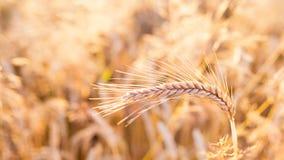 Barley - one shining golden ear of corn on barley field Stock Photo
