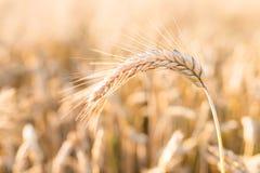 Barley - one shining golden ear of corn on barley field Stock Image