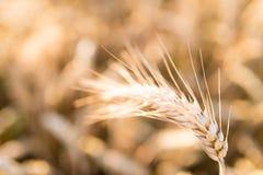 Barley - one shining golden ear of corn on barley field Stock Photography