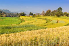 Barley paddy field Stock Photos