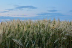 Barley. The photo shows a barley field Stock Photography