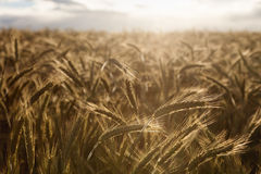 Barley photographed towards the setting sun Stock Photography