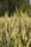 Barley plant in a field Stock Photography