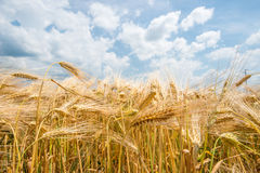 Barley plant Royalty Free Stock Photos