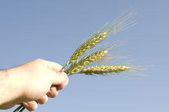 Barley plant in hand Royalty Free Stock Photo