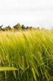Barley plantation in Suffolk, England, UK Royalty Free Stock Photography