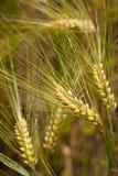 Barley plants (Hordeum vulgare) Royalty Free Stock Image