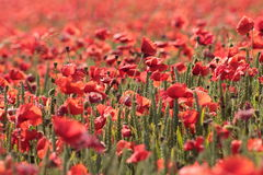 Barley and Poppies. An English meadow with produce and weeds Royalty Free Stock Image