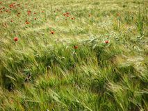 Barley and poppy field Stock Image