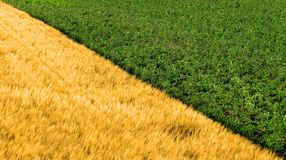 Barley and potato field. Separated diagonally stock photography