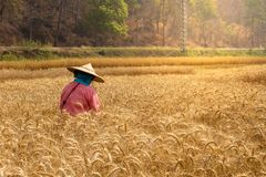 Barley rice field. Farmers are harvesting Barley rice.Yellow wheat ears field background. Wheat field natural product. Ears of golden wheat close up stock images