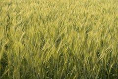 Barley rice field texture Stock Photo