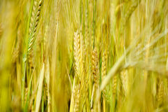 Barley. Ripe barley on the field before the harvest Stock Image