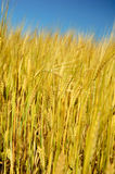 Barley. Ripe barley on the field before the harvest Royalty Free Stock Photos