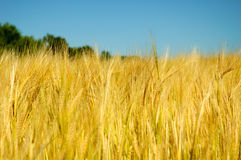 Barley. Ripe barley on the field before the harvest Royalty Free Stock Image