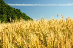 Barley. Ripe barley on the field before the harvest Royalty Free Stock Images