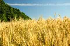 Barley Royalty Free Stock Images