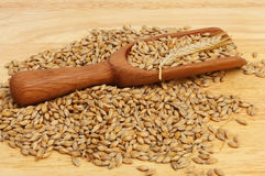 Barley in scoop. Barley in and around a wooden scoop on a wooden board Royalty Free Stock Images