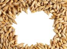 Barley seed close-up frame. Barleycorn seeds close-up frame Royalty Free Stock Photo