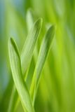 Barley seedlings Stock Photos